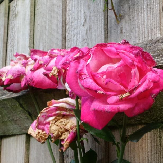 roses fading WoJ