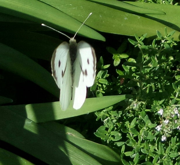 butterfly-white-on-green