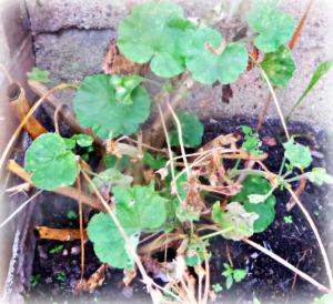 alive-geranium-plant-dying-woj-acw