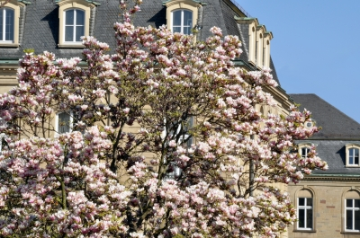 the fun of seeing a magnolia tree in bloom - Image Courtesy of FreeDigitalPhotos.Net