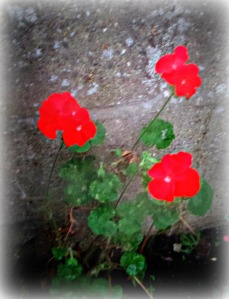 alive-geranium-plant-new-life-woj-acw