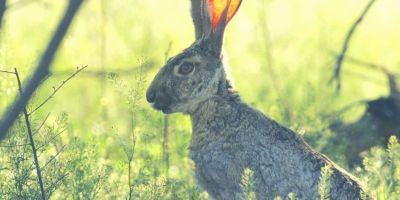 hare - grasslands - obedience - listening to God @joylenton.com