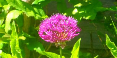 authentic - seeking to be the best version of ourselves - alium flower (C) joylenton @joylenton.com